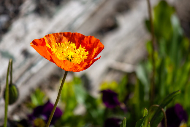 A bright yellow, orange, and red arctic poppy stands out against a blurry background